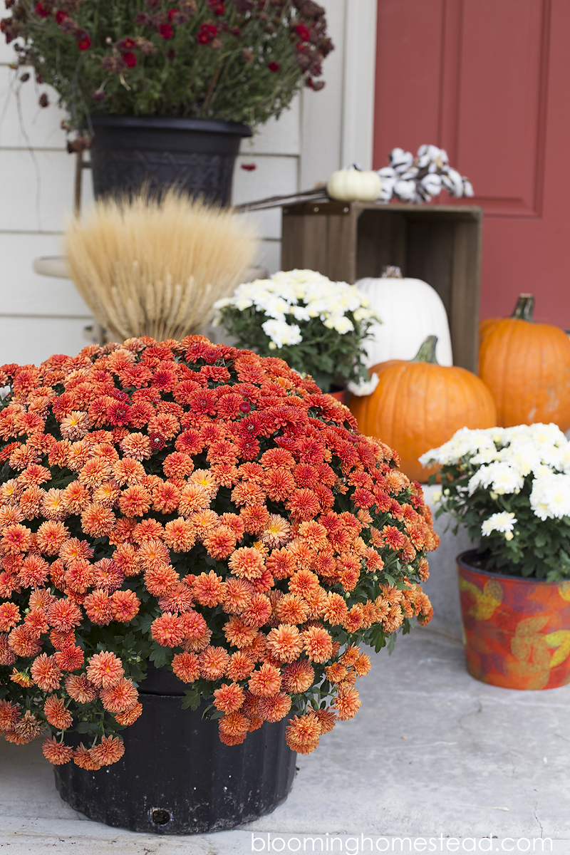 beautiful-fall-mums