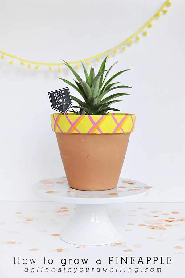 cchow-to-grow-a-pineapple